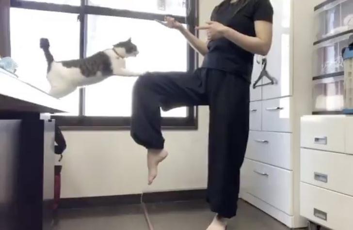 Фото №1 - Видео, на котором кот не дает хозяйке показать прием тхэквондо, стало вирусным в Японии