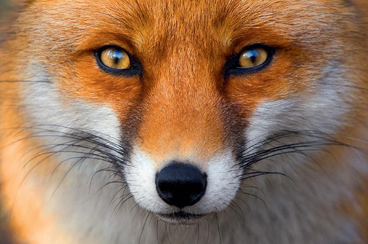 Фото №1 - Союз рыжих: как лисы стали привычными дикими спутниками человека