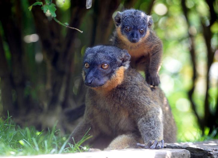 Фото №1 - Названы самые уязвимые приматы в мире