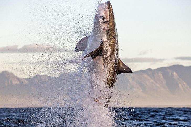 Фото №1 - Белая акула в прыжке