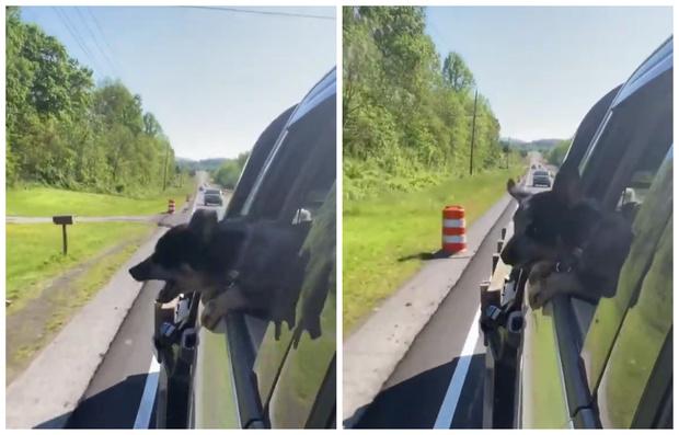 Фото №1 - Щенок едет в автомобиле и пытается укусить все дорожные столбики, которые встречает по пути (видео)