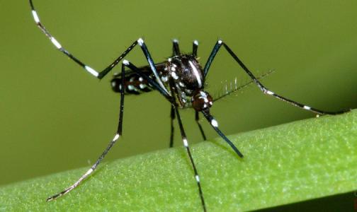 Фото №1 - Юг России приглянулся опасным комарам из Африки и Азии. Эксперты сказали, как их отличить от обычных