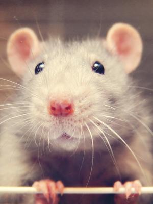 По Восточному календарю наступает год Крысы.