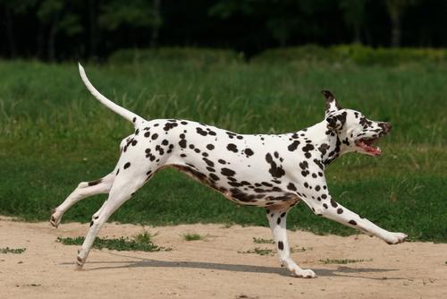 Фото №1 - Кто назвал далматинов «каретными собаками»?
