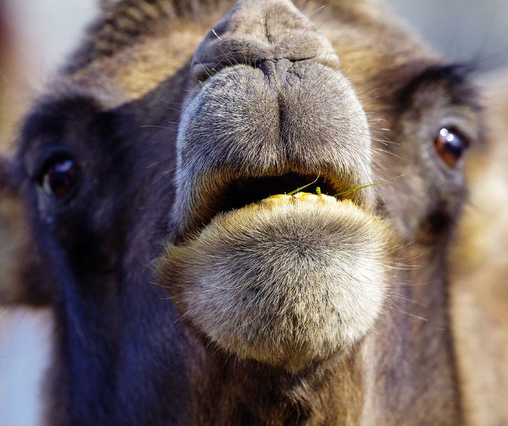 Фото №7 - Сухой закон: как верблюды выживают в экстремальных условиях