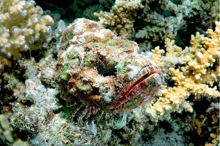 Фото №7 - Ядовитая правда Немо: 8 самых опасных обитателей Красного моря