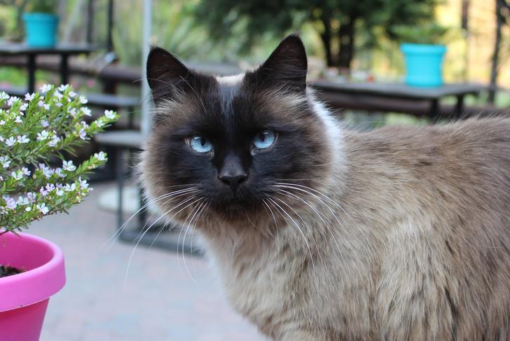 Фото №4 - Овну— мау, Раку— сфинкс: какая кошка подходит вам по знаку зодиака