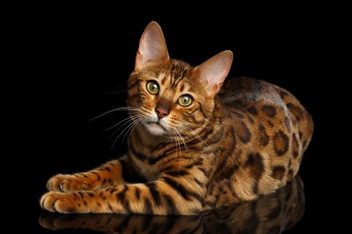 Фото №6 - Почти как люди: самые умные породы кошек