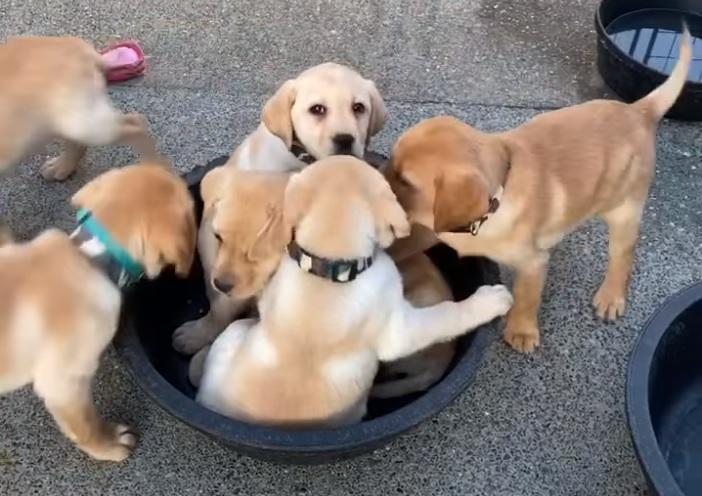 Фото №1 - Сколько щенков лабрадора одновременно помещаются в тазик? (видео)
