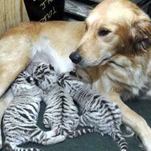 Фото №1 - Тигрята сошли за щенков