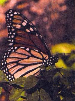 Фото №2 - Где зимуют монархи?