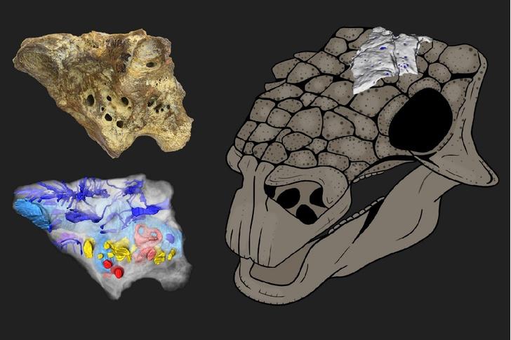 Фото №1 - Российские ученые создали подробную 3D-модель мозга динозавра