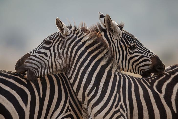 Фото №1 - Ученые попытались выяснить, зачем зебрам черно-белый камуфляж