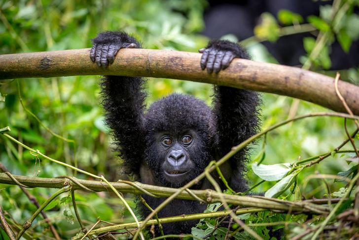 Фото №1 - Приматы оказались под угрозой вымирания