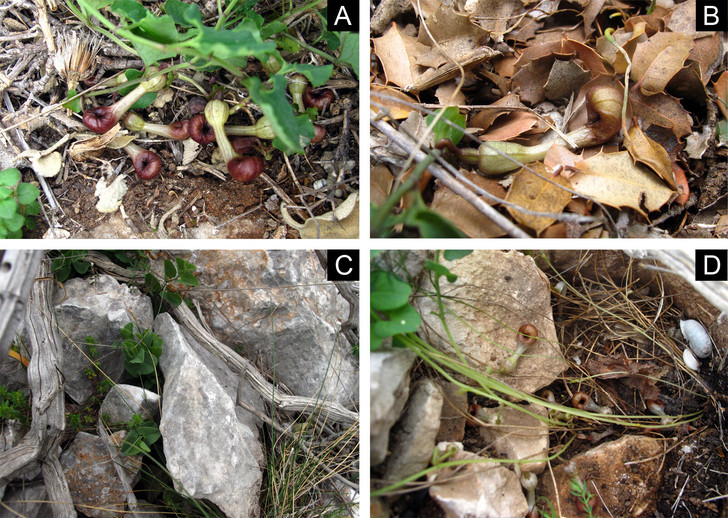 Фото №1 - Найдено растение, пахнущее мертвыми насекомыми