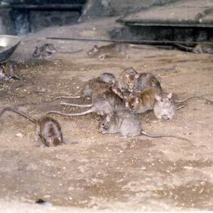 Фото №1 - Крысы оккупировали вокзал в индийском Бихаре