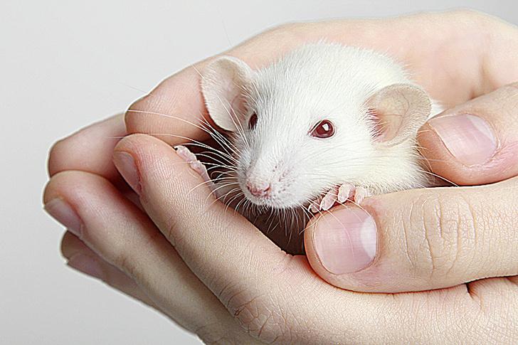 Фото №3 - Человек-паук против арахнофобии, щекотка для крыс и другие новые исследования