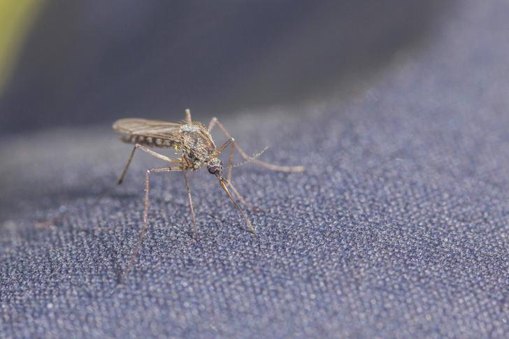 Фото №1 - Ученые раскрыли комариный принцип выбора жертв