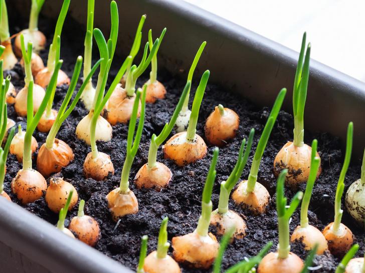 Фото №8 - Домашний огород: 5 овощей, которые вы можете вырастить на подоконнике
