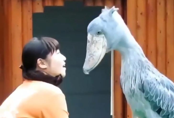 Фото №1 - Редкая птица китоглав покусывает посетительницу зоопарка (видео)