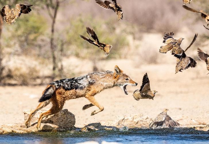 Фото №1 - Шакал на охоте