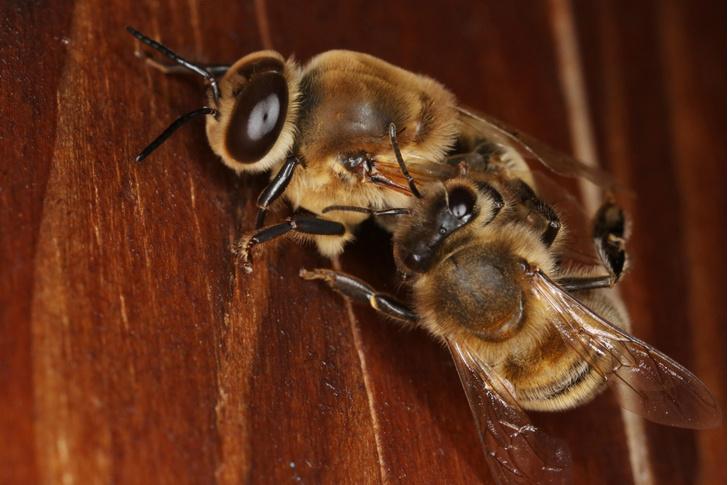 Фото №1 - Ученые обнаружили пчелу с двумя отцами и без матери