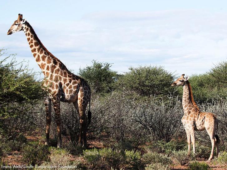 Фото №1 - Ученые сообщили о появлении карликовых жирафов