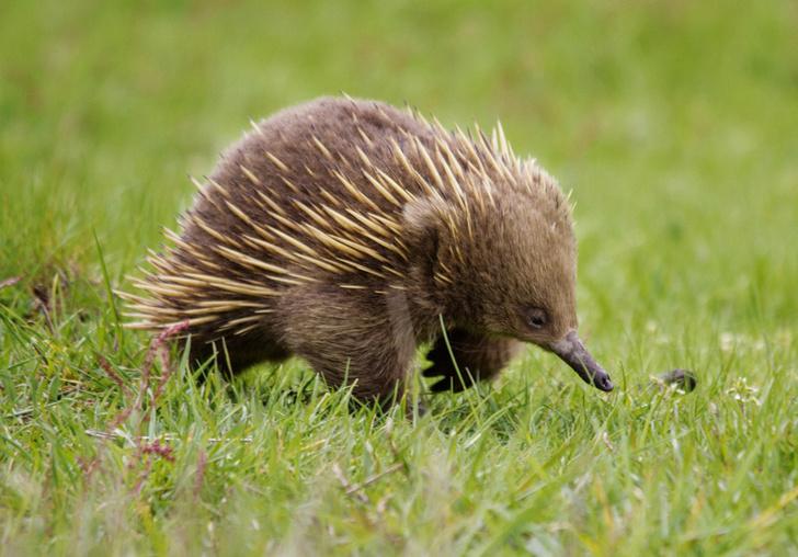 Фото №3 - Гремучая смесь: самое удивительное животное Австралии