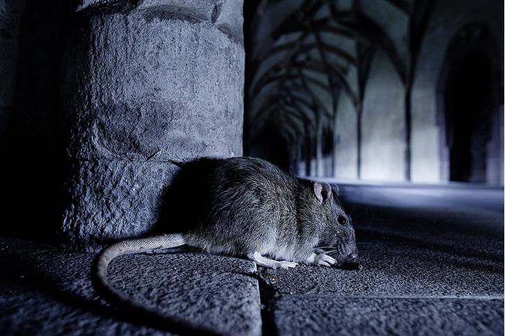Фото №2 - Прогрызая путь: как устроено крысиное общество и чем оно похоже на человеческое