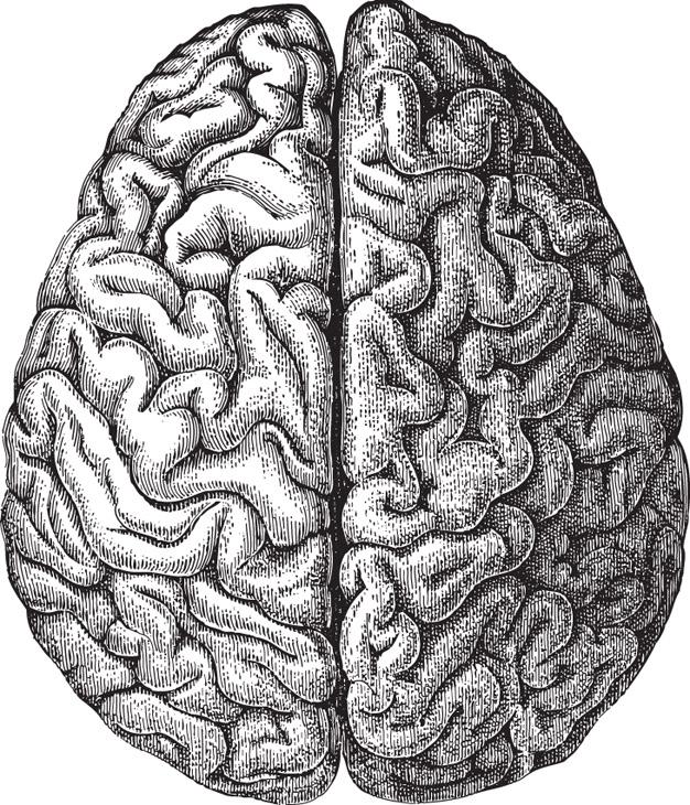 shutterstockСерое вещество, покрывающее полушария большого мозга, служит для анализа и обработки информации, получаемой от органов чувств. Эта часть головного мозга человека достигла такого развития, что для того, чтобы уместиться внутри черепа, ей приходится «укладываться» в складки, или извилины. Кора занимает 44% от объема всего полушария в целом, но если ее слой можно было бы распрямить, то он бы занял в 30 раз большую площадь.