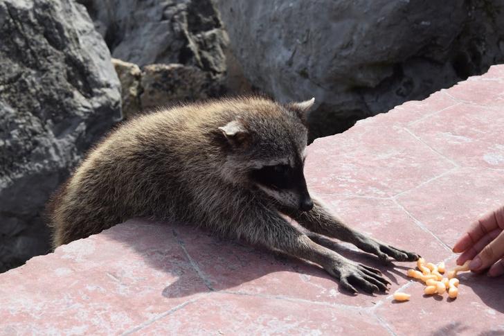 Фото №1 - Зоологи сообщили о нашествии енотов на Москву