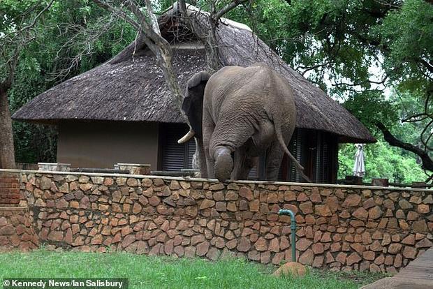Фото №3 - Проворный слон ловко перелез через забор ради фруктов (видео)
