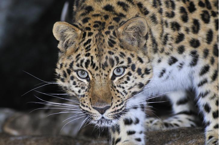 Фото №1 - В России появился новый заказник для сохранения тигров и леопардов