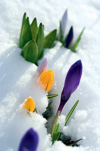 Фото №1 - Почему снег проседает вокруг весенних цветов?