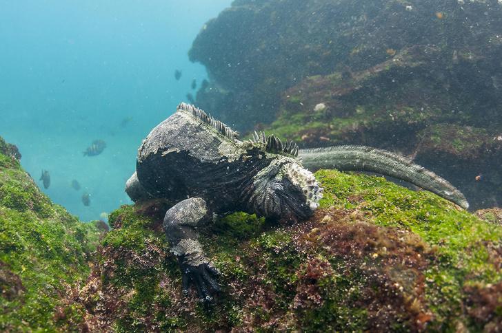 Фото №1 - В Сети появилось подводное видео с гигантской морской игуаной