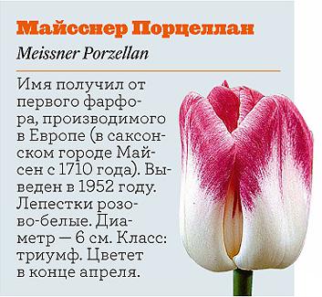 Фото №4 - Самые популярные сорта тюльпанов