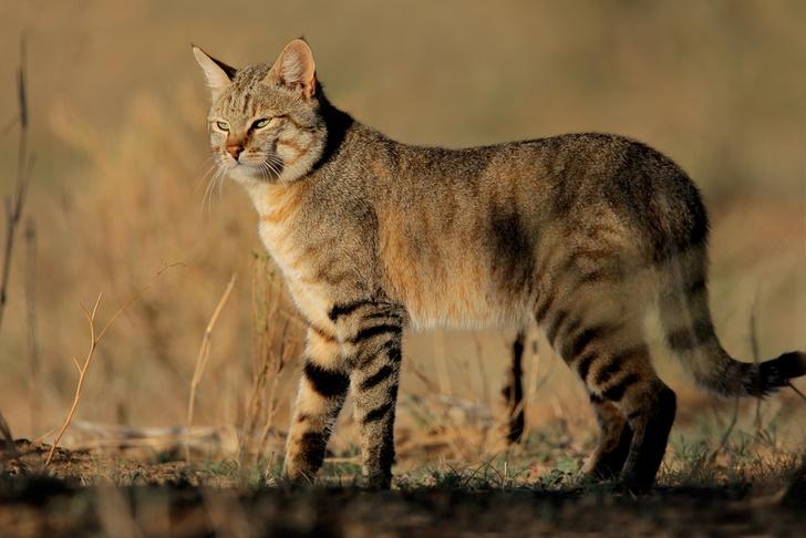 Фото №4 - Генетика: котенок от дизайнера