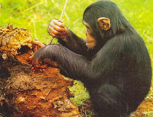 Фото №1 - Животные «изобретают»