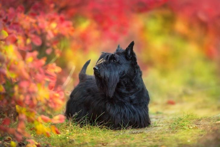 Фото №11 - 15 пород собак, которые не линяют