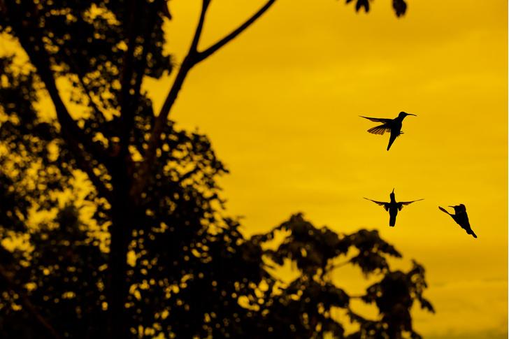 Фото №4 - Маленькая жизнь: как колибри стали настоящими супергероями