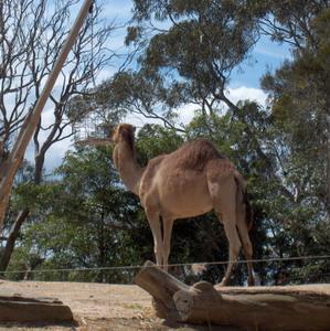 Фото №1 - Охота на верблюдов заменит марихуану