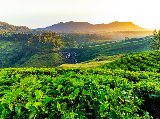 Фото №1 - Чайные плантации: как создается самый популярный напиток