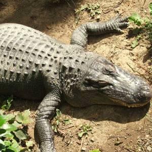 Фото №1 - Крокодил в деревенском пруду