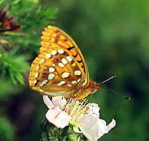 Фото №1 - Британские бабочки вымирают
