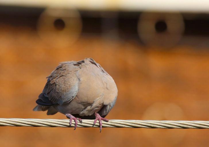 Фото №1 - «Безголовый» голубь
