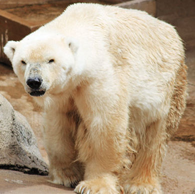 Фото №1 - Последний медведь