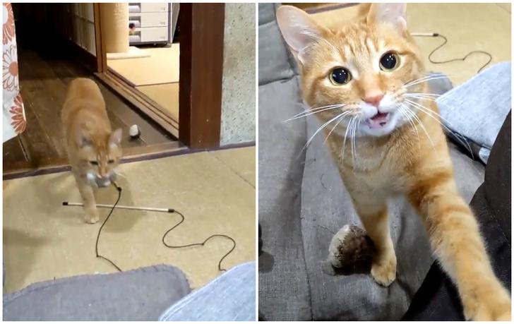 Фото №1 - Кот изо всех сил упрашивает хозяина с ним поиграть (видео)