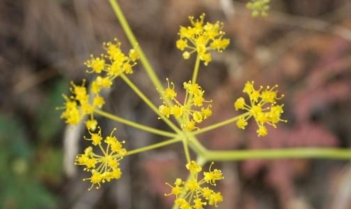 Фото №1 - Для создания иммуномодулятора ученые раскрыли секрет казахского цветка