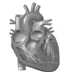 Фото №1 - Сердце забилось снова
