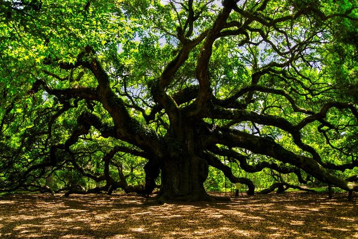 Фото №4 - Вернуться к корням: 7 самых экзотичных деревьев в мире